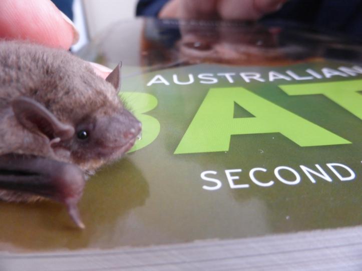 Inland Broad-nosed Bat (Scotorepens balstoni)