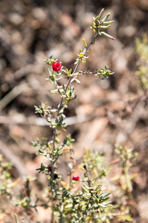 Thorny Saltbush