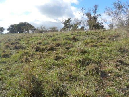 Tarcutta-grass